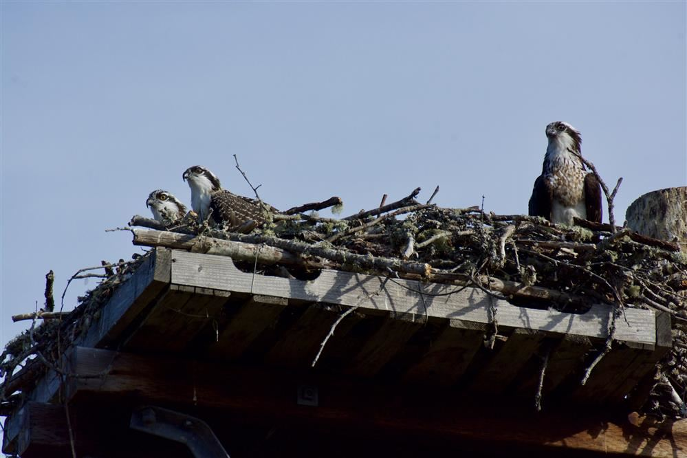 Ospreys at Sakai
